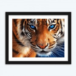 Blue Eyed Tiger